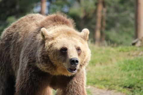 Länsstyrelsen har beslutat om skyddsjakt på en björn i södra delen av Falu kommun