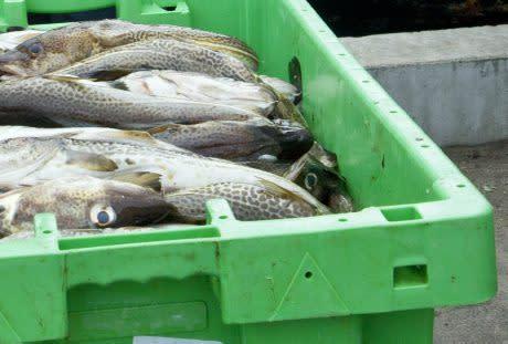 HaV höjer tillfälligt torskransoner för att hjälpa fisket i Skåne