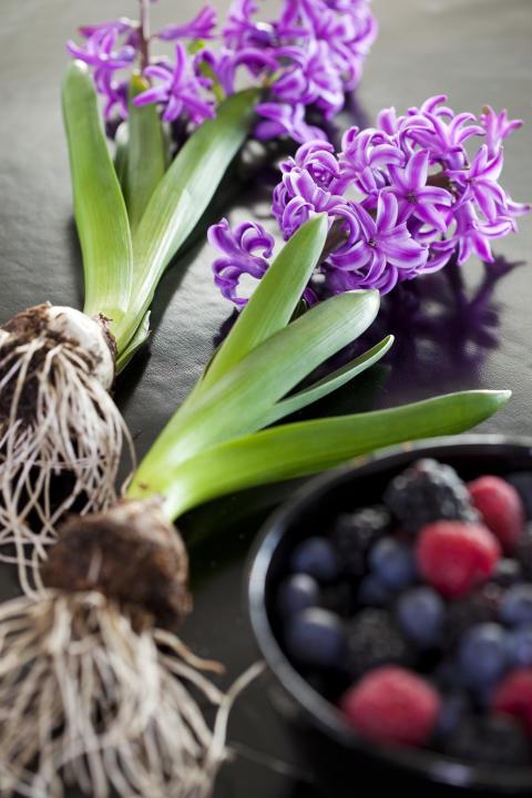 Lila hyacinter