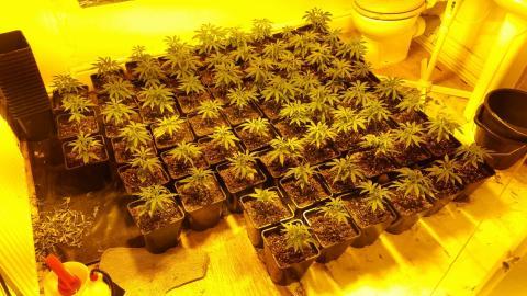 Cannabis seized in Kensington
