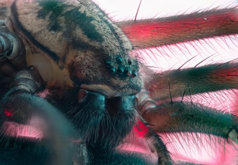 Husedderkopp/ House spider/ Tegenaria species