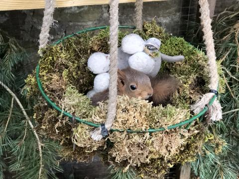 Archie kept warm in a moss nest, like the dreys red squirrels build in the wild