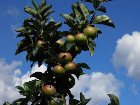 Förutsättningar finns för ett år utan kvalitets och volymproblem för Svensk fruktodling.