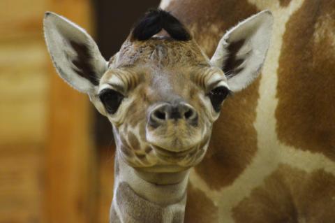 Vilken julklapp - Kolmårdens giraffkalv Pinocchio har fått en lillasyster