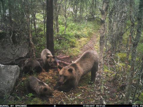 Björnhona med tre ungar i nordöstra Värmland