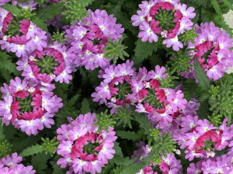 Trädgårdsverbena Lanai Upright Twister Rose