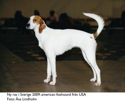 Ny ras i Sverige 2009 - american foxhound