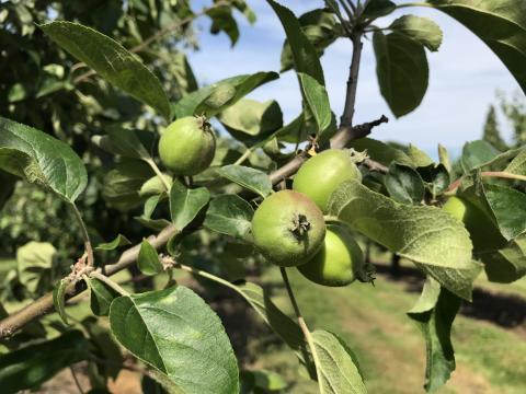 Äppelodlare oroliga för skörden