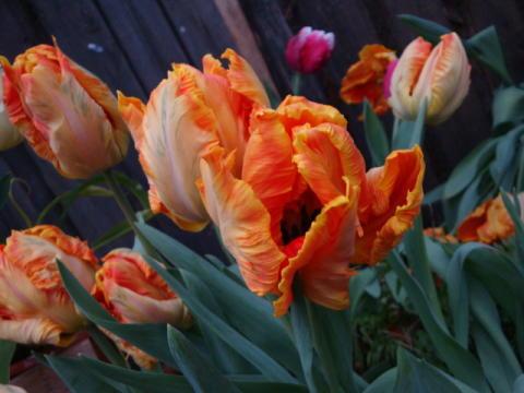 TULPAN 2010 - våren stora tulpanutställning!