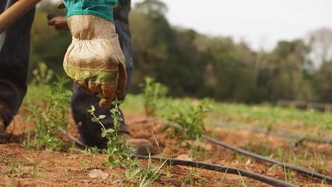 Stevia plantation