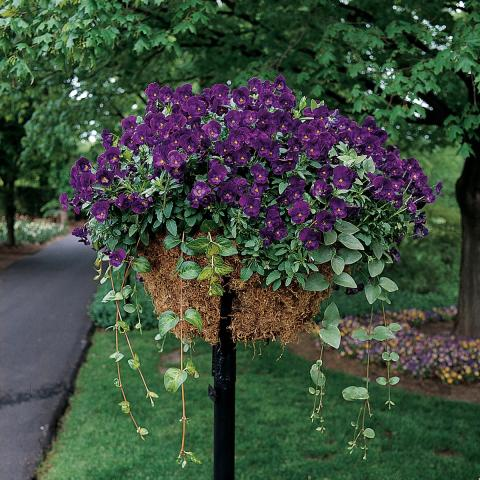 Ampelpensé 'Purple Rain'