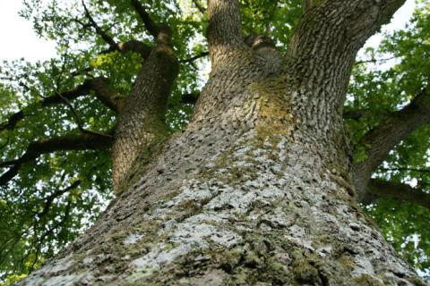 Många äldre träd att bevara i tätorterna