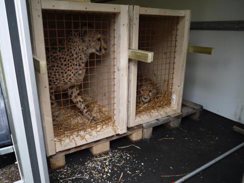 Borås Djurpark skickar fyra geparder till Kristiansand Dyrepark, Norge