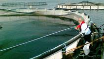 Irish salmon farming eyes comeback