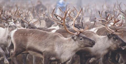 Invigning av den samiska parken Lopme Laante i Funäsfjällen