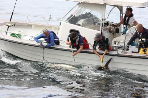 Märkning av blåfenad tonfisk på Västkusten