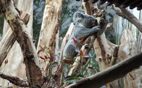 Tinaroo zieht ins Koala-Haus ein