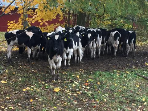 Glädjande ökning av svenskproducerat kött