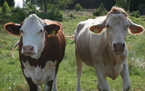 Djurskyddet Sverige och Sveriges konsumenter anmäler Bregottreklamen för vilseledande marknadsföring