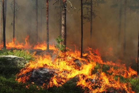 Dramatiska förändringar i växt- och djurliv efter storbranden i Västmanland