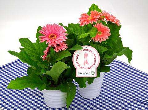 Dagens Rosa Produkt 24 oktober - en storblommig Gerbera från Mäster Grön