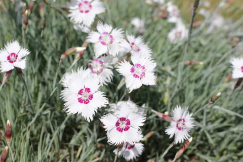 Fjädernejlika, Dianthus plumarius 'Marieberg' nyhet 2014 Blomsterlandet