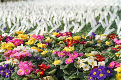 Pensén - vår mest folkkära klassiker på Hallands Blomsterordling