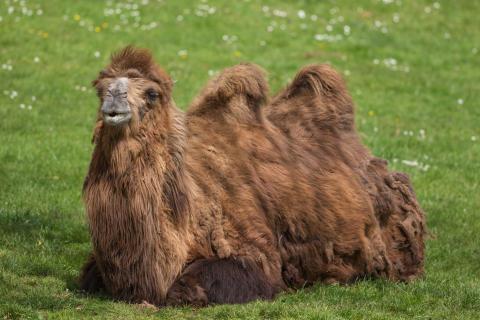 Nyhet -kamel till Parken Zoo och Lilla Zoo