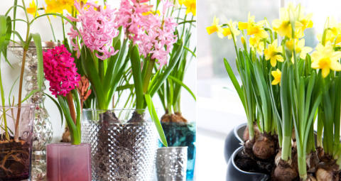 DIY: Så här odlar du vårlökar inomhus
