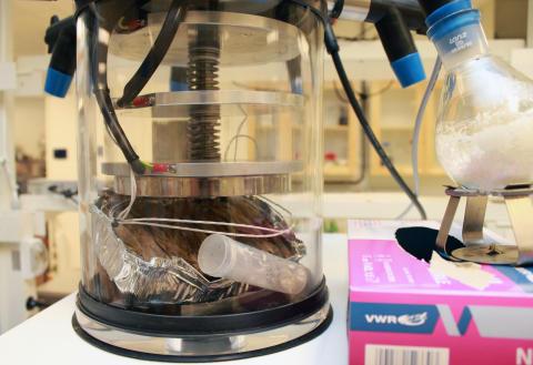 Sjöpungens mantel frystorkas innan organosolvbehandling