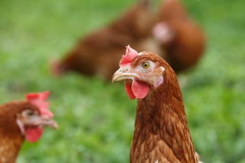 Formas beviljar 54 miljoner till forskning om djurskydd