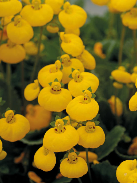 Toffelblomma, Calceolaria 'Calynopsis'