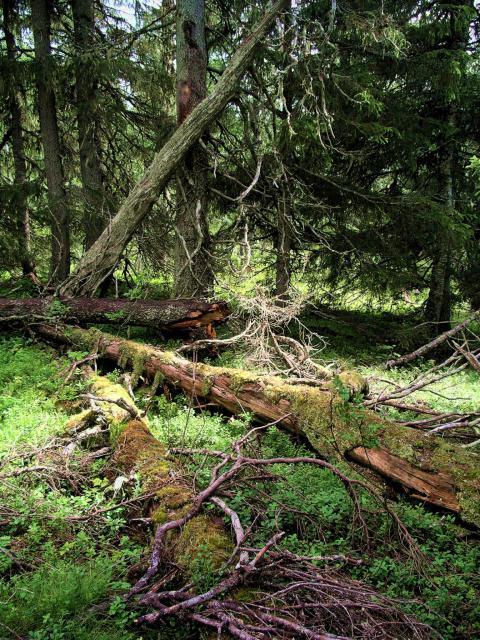 Ny officiell statistik från Riksskogstaxeringen vid SLU