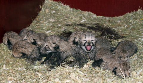 Gepardfödsel 2010_3