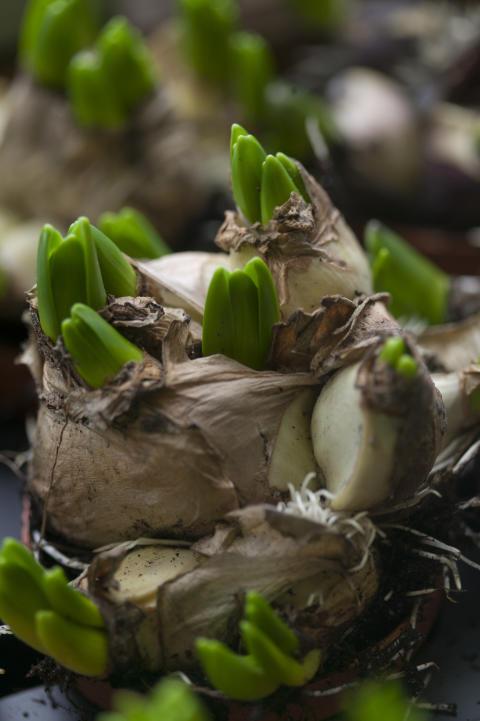 Hyacintlökar
