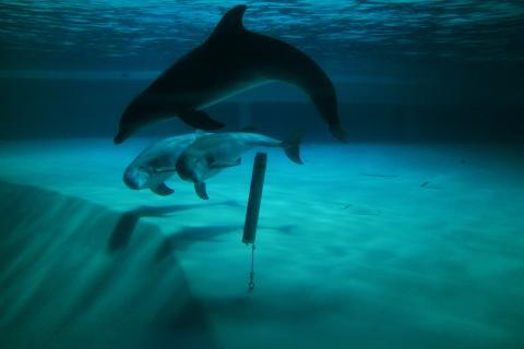 Kolmårdens delfiner är ambassadörer för de akut hotade Östersjötumlarna