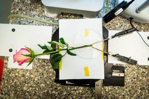Rosen som är ett energilager