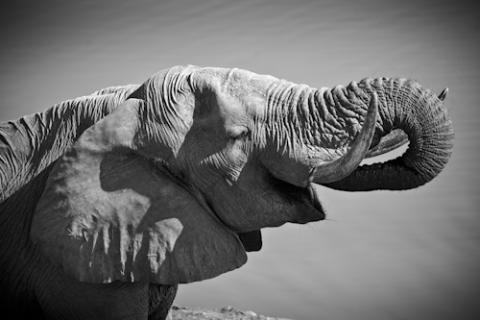 Drickande elefanthanne i Hwange, Zimbabwe