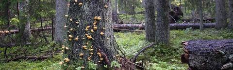 Sveriges träd utgör ryggraden för den biologiska mångfalden – invasiva skadegörare utgör ett allt större hot