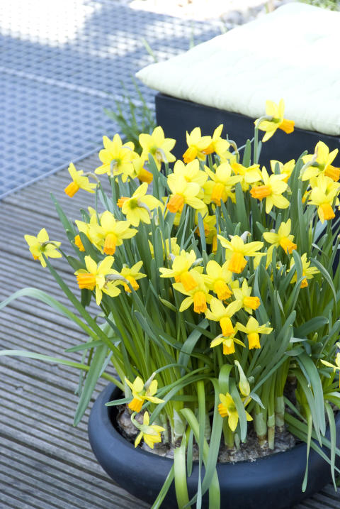 Narcissus Jetfire®