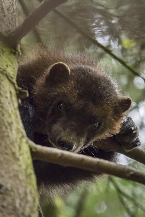 Sony Nature Wolverine_2