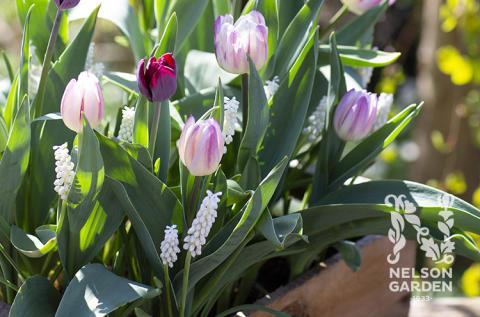 Höstnyheter för en blommande vår från Nelson Garden