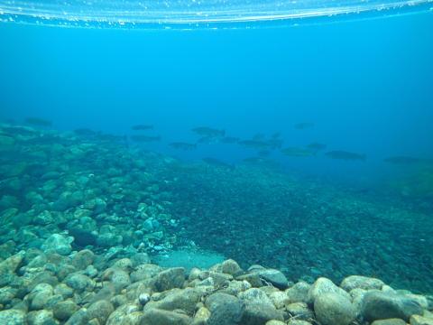 Gytefisktellinger Aurland høsten 2015