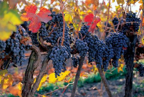 Cabernet Sauvignon – från budget till lyx