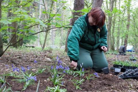 Center Parcs plants 52,000 British Bluebells at Sherwood Forest
