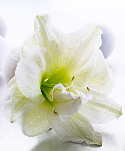 Amaryllis 'White nymph'