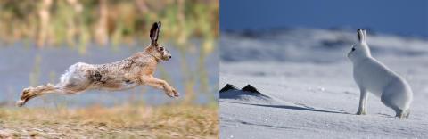 Ny art setter norsk hare i fare
