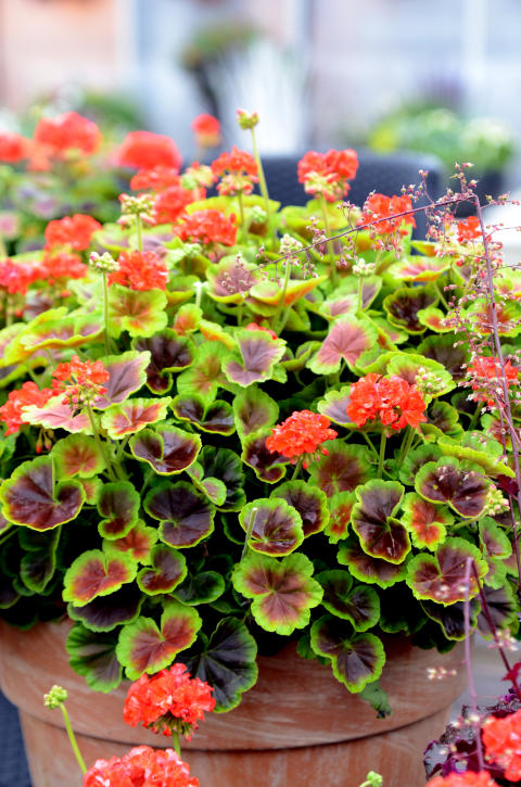 Pelargonium Brocade ´Fire´