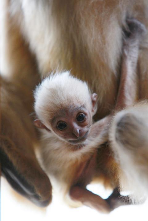 Gibbonunge född i Parken Zoo