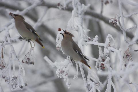 Fåglar landar i Ultunabiblioteket hos SLU Uppsala